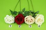 Uk růže velvet 50cm - velkoobchod, dovoz květin, řezané květiny Brno