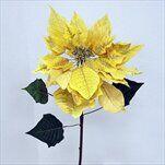 Poinsettie x1/40/80cm zlatá - velkoobchod, dovoz květin, řezané květiny Brno