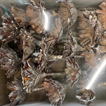 SU Protea Rosette 6-7cm Frosted Bělená 50ks - velkoobchod, dovoz květin, řezané květiny Brno