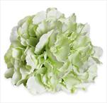Hortenzie květ pr.20cm bílozelená - velkoobchod, dovoz květin, řezané květiny Brno