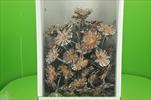 SUPERCUTS 8-9CM WHITE WASHED TRAY 50PCS - velkoobchod, dovoz květin, řezané květiny Brno
