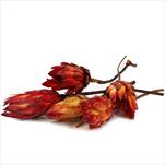 REPENS BUD ABSORBTION RED TRAY 50PC - velkoobchod, dovoz květin, řezané květiny Brno