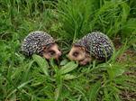 Ke ježek polyston menší - velkoobchod, dovoz květin, řezané květiny Brno