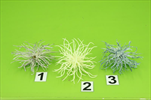 Uk bodlák květ 8ks - velkoobchod, dovoz květin, řezané květiny Brno