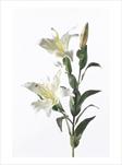 Uk Lily 95cm bílá - velkoobchod, dovoz květin, řezané květiny Brno