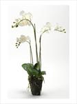 UK PHALENOPSIS WHITE X3 SOILED 75CM - velkoobchod, dovoz květin, řezané květiny Brno