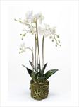 UK PHALENOPSIS WHITE PLANT 80CM - velkoobchod, dovoz květin, řezané květiny Brno
