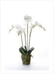 UK Phalaenopsis moss 90cm white - velkoobchod, dovoz květin, řezané květiny Brno