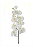 UK PHALENOPSIS X9 100cm cream - velkoobchod, dovoz květin, řezané květiny Brno