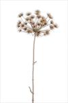 UK Heracleum 125cm grey - velkoobchod, dovoz květin, řezané květiny Brno