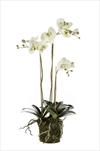 Uk Phalaenopsis 75cm light green - velkoobchod, dovoz květin, řezané květiny Brno