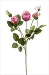 Uk rose Peggy 60cm lt.beauty - velkoobchod, dovoz květin, řezané květiny Brno