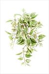 Uk Tradescantia závěs 50cm zelená - velkoobchod, dovoz květin, řezané květiny Brno