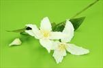 Uk Clematis X3/50cm cream - velkoobchod, dovoz květin, řezané květiny Brno