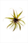 Uk Tillandsia 18cm red/green - velkoobchod, dovoz květin, řezané květiny Brno