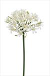 Uk Agapanthus 90cm cream - velkoobchod, dovoz květin, řezané květiny Brno