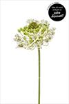 Uk Ornithogalum 62cm - velkoobchod, dovoz květin, řezané květiny Brno