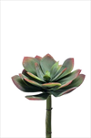 Uk Echeveria 18cm green/red - velkoobchod, dovoz květin, řezané květiny Brno