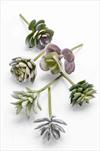 Uk Succulent 6pcs - velkoobchod, dovoz květin, řezané květiny Brno