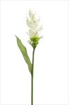 Uk Curcuma 80cm white - velkoobchod, dovoz květin, řezané květiny Brno