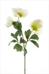 Uk Helleborus 44cm green/white - velkoobchod, dovoz květin, řezané květiny Brno