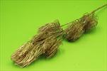 Uk Pinus X6/92cm gold - velkoobchod, dovoz květin, řezané květiny Brno