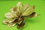 Uk Echeveria 30cm gold - velkoobchod, dovoz květin, řezané květiny Brno