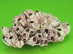 Barnacle 25-35cm Přírodní - velkoobchod, dovoz květin, řezané květiny Brno