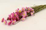 Su Bunch Acroclinium Helipterum pink - velkoobchod, dovoz květin, řezané květiny Brno