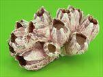Barnacle 7-12cm Přírodní - velkoobchod, dovoz květin, řezané květiny Brno