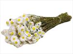 Su Bunch Acroclinium Helipterum white - velkoobchod, dovoz květin, řezané květiny Brno