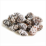 Baby Spruce Whitewashed 2-3cm - velkoobchod, dovoz květin, řezané květiny Brno
