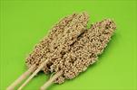 Su indian corn 70-75cm/3pcs orange - velkoobchod, dovoz květin, řezané květiny Brno