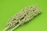 Su indian corn 70-75cm/3pcs green - velkoobchod, dovoz květin, řezané květiny Brno